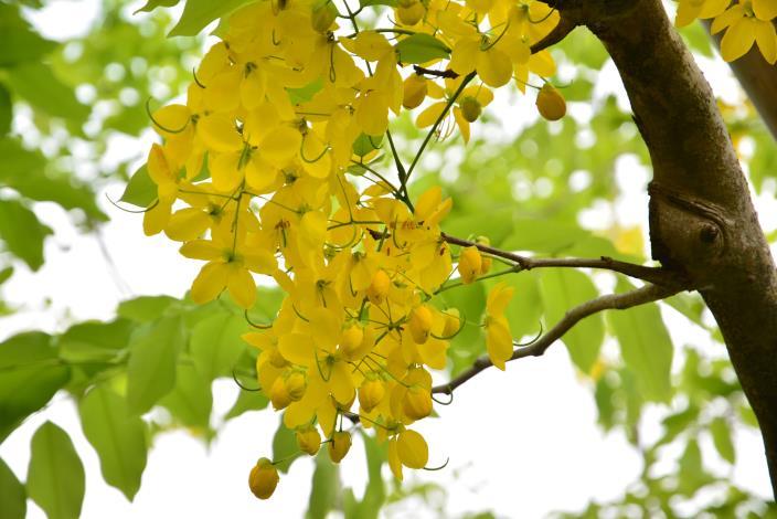 圖4.成串的金黃色小花,在陽光下閃閃發光.JPG