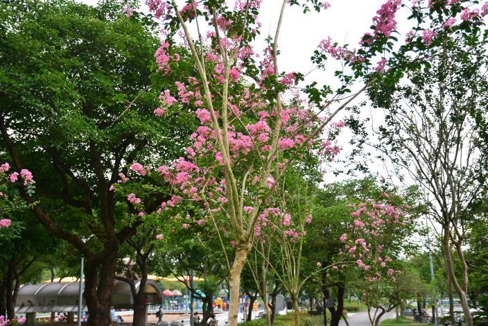 圖2.紫薇的樹皮光滑易剝落,夏季滿樹開花.JPG
