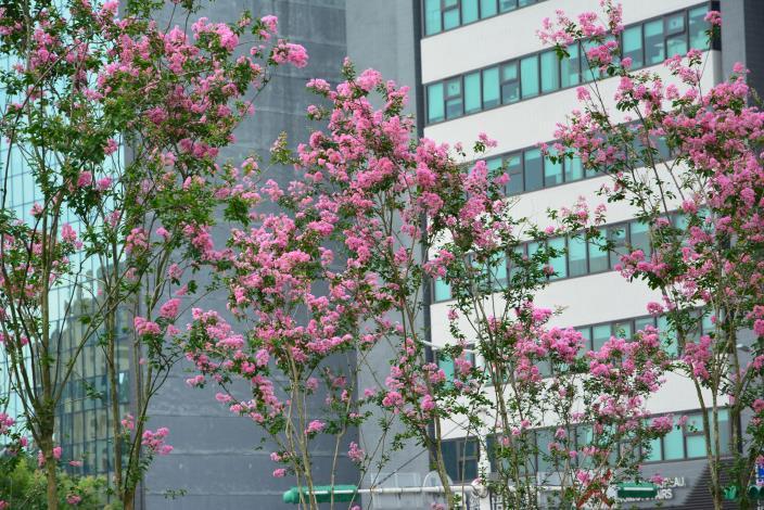 圖3.盛夏綻放的紫薇不輸春天的櫻花.JPG