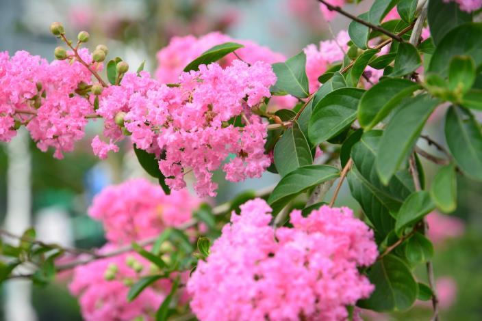 圖1.紫薇的花是明艷的紫紅色.JPG