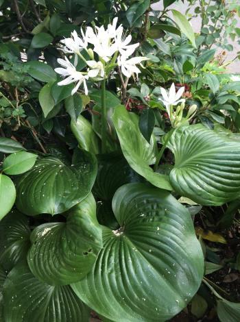 圖2假玉簪花梗抽出後才長葉子,清雅素白花朵帶有淡淡的清香,葉子的形狀像個圓潤的愛心。