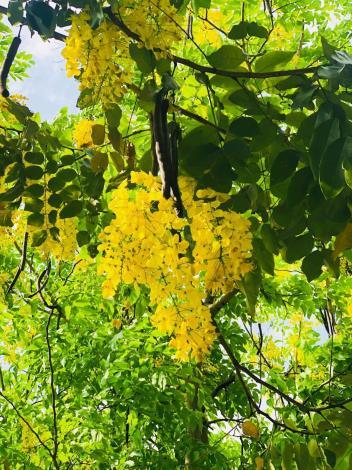 圖四一串串黃花垂掛爭