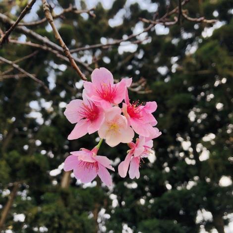 圖三_本次贈送櫻花種類-大漁櫻