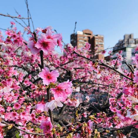 圖一_次贈送櫻花種類-寒櫻