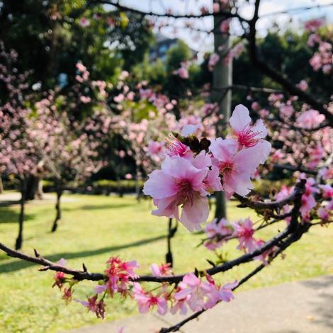 圖二_本次贈送櫻花種類-河津櫻