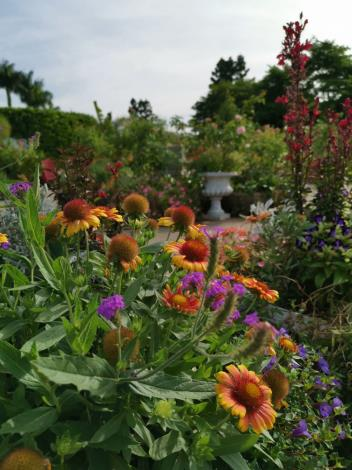 圖4澎湖縣縣花天人菊也現蹤在園區內。