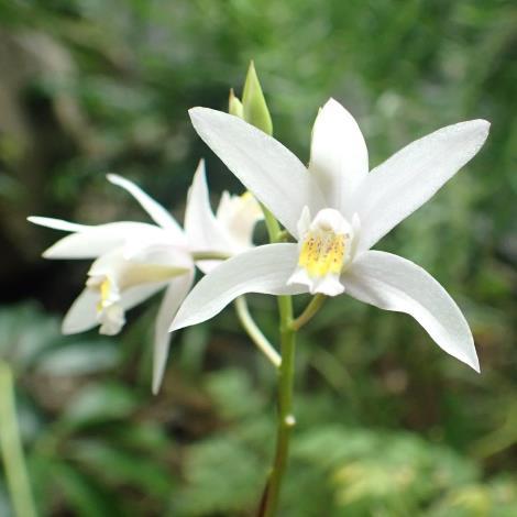圖1「臺灣白及」名稱沒有「蘭」字,但它可是在平地就可觀賞到最有看頭的野生蘭花!