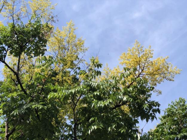 圖二、黃花朵朵正在盛開