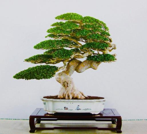 圖1.米葉壽娘子盆景作品