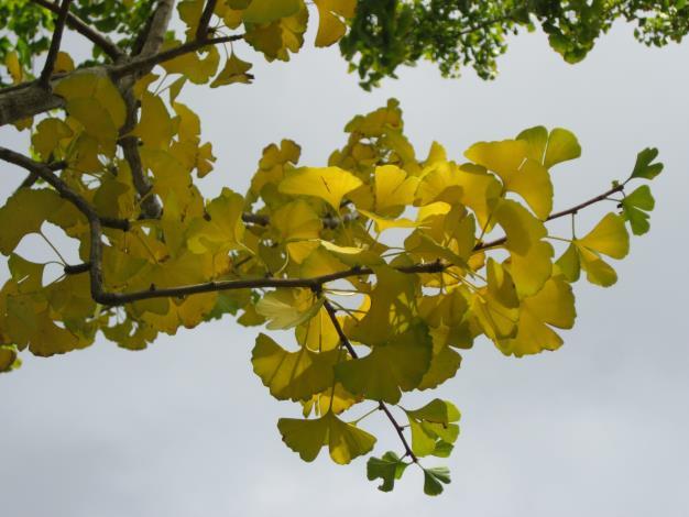 圖4. 金黃色銀杏葉片