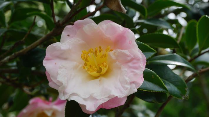 圖9. 淡粉色重瓣茶梅