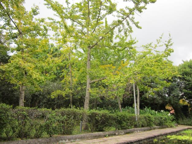 圖3. 生態池旁銀杏林轉色
