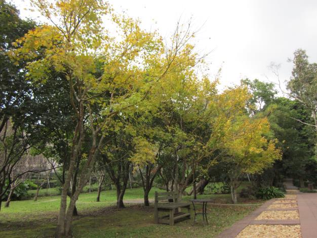 圖2. 黃楓轉色