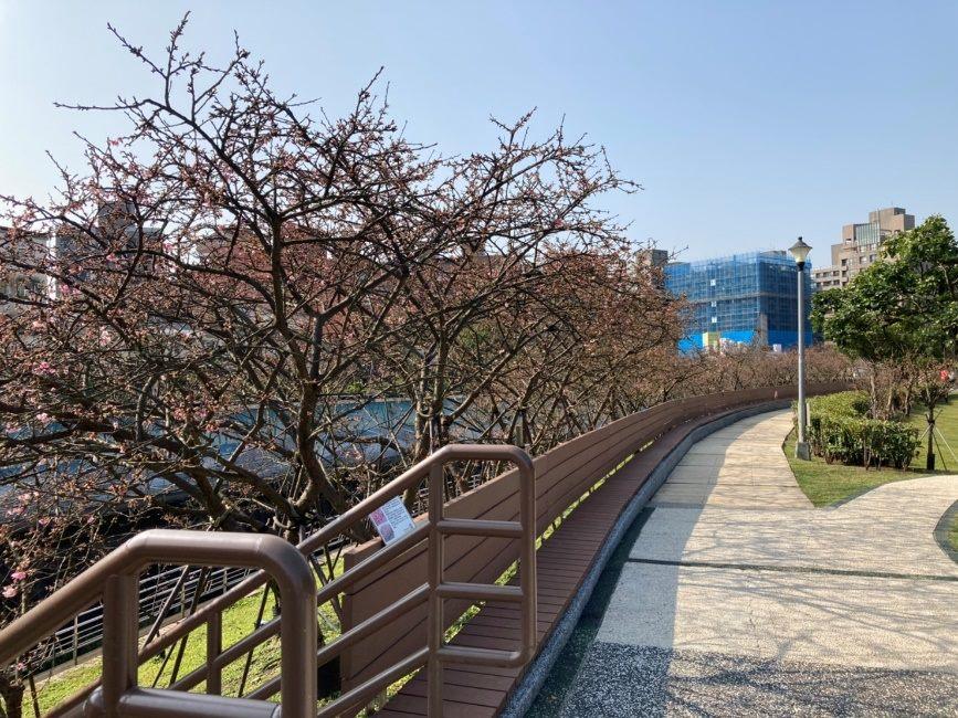 (圖3)126樂活公園櫻花花況