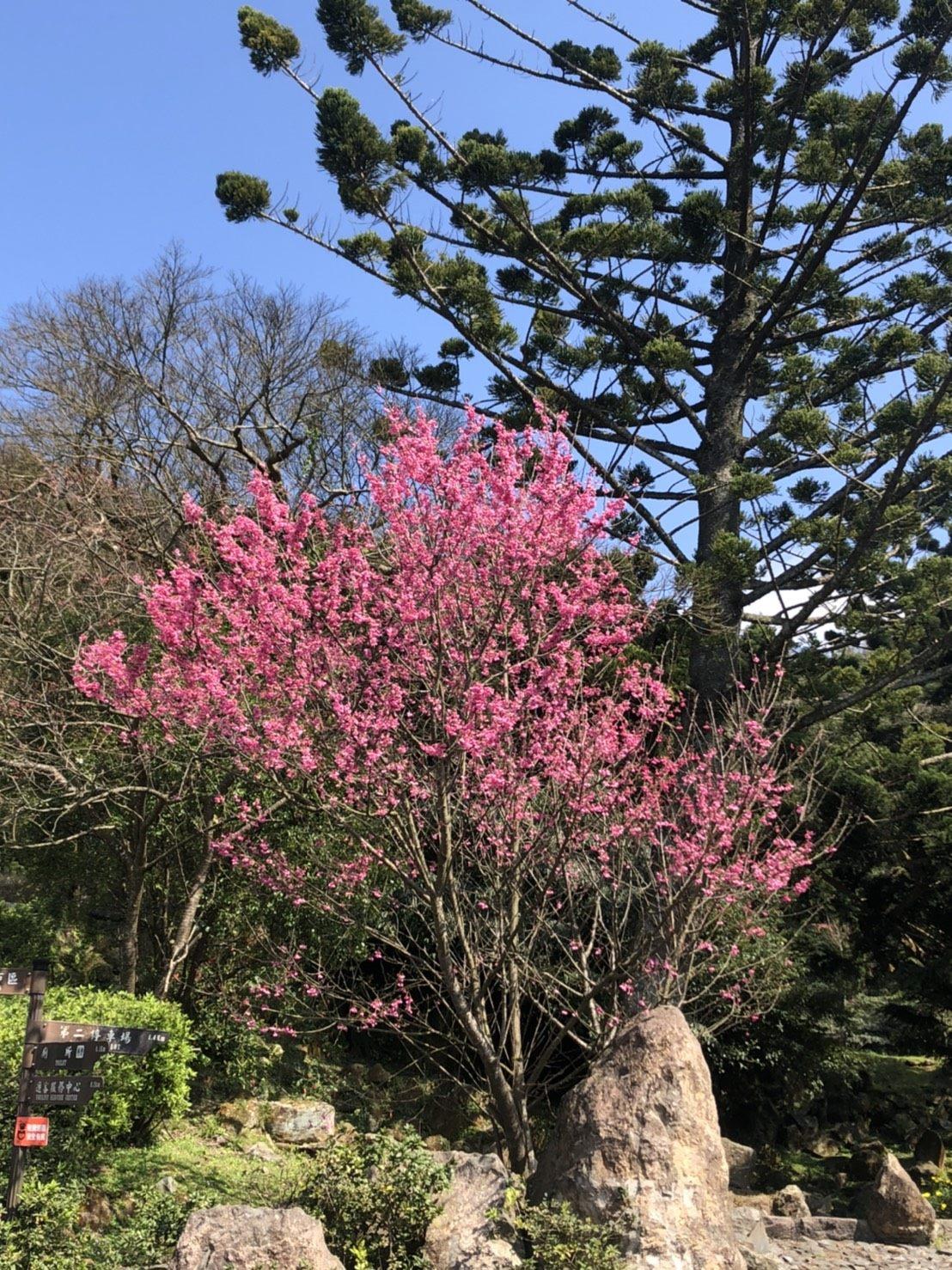 (圖3)23陽明公園櫻花花況