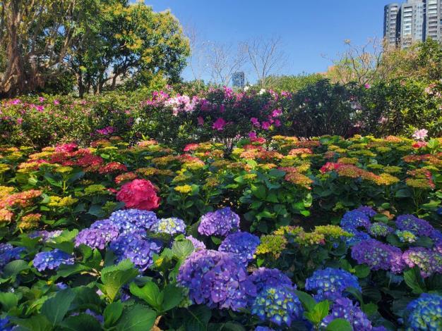 圖4.大安森林公園繡球花與杜鵑爭豔。