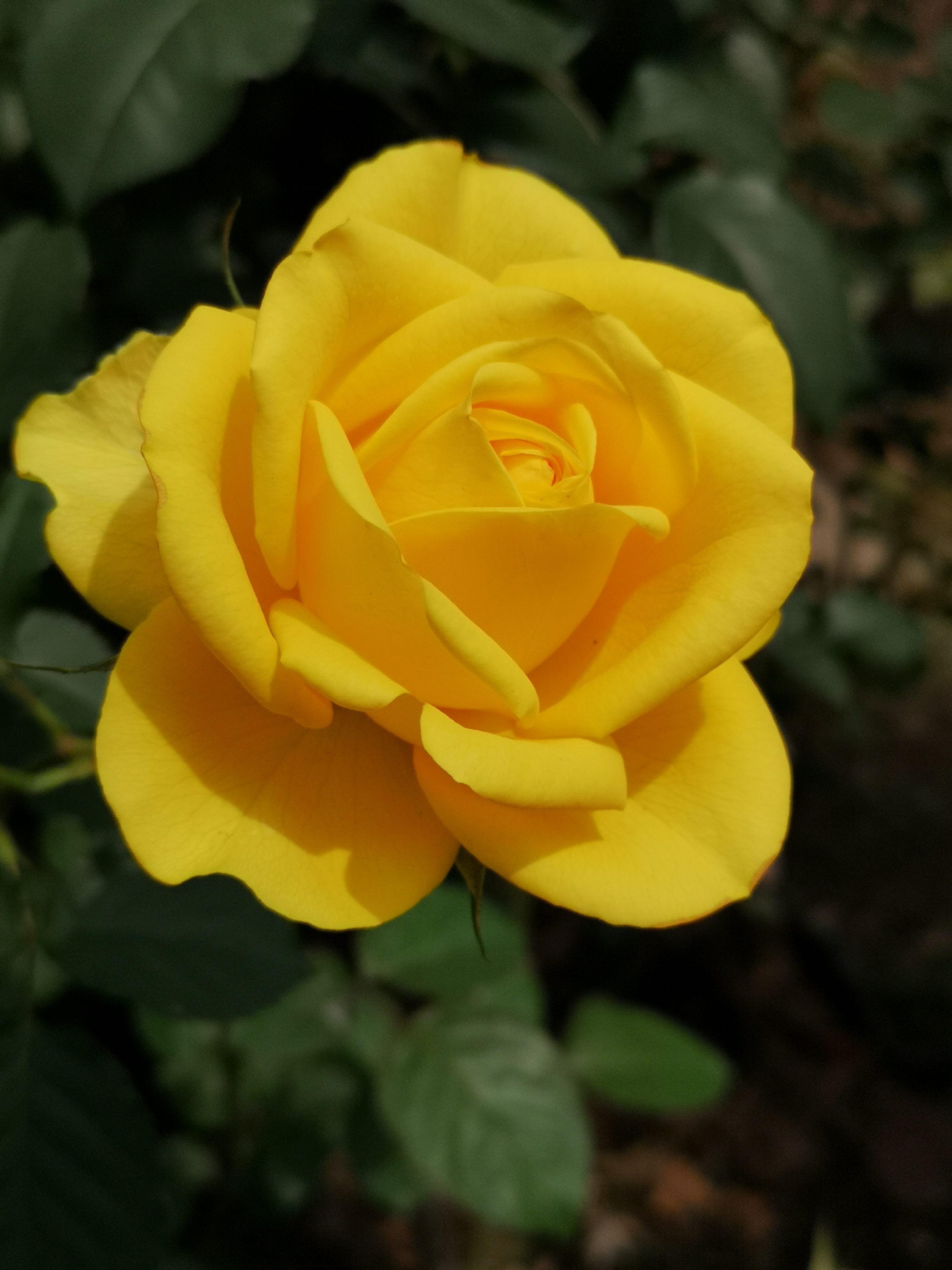 盛開玫瑰等您來賞花