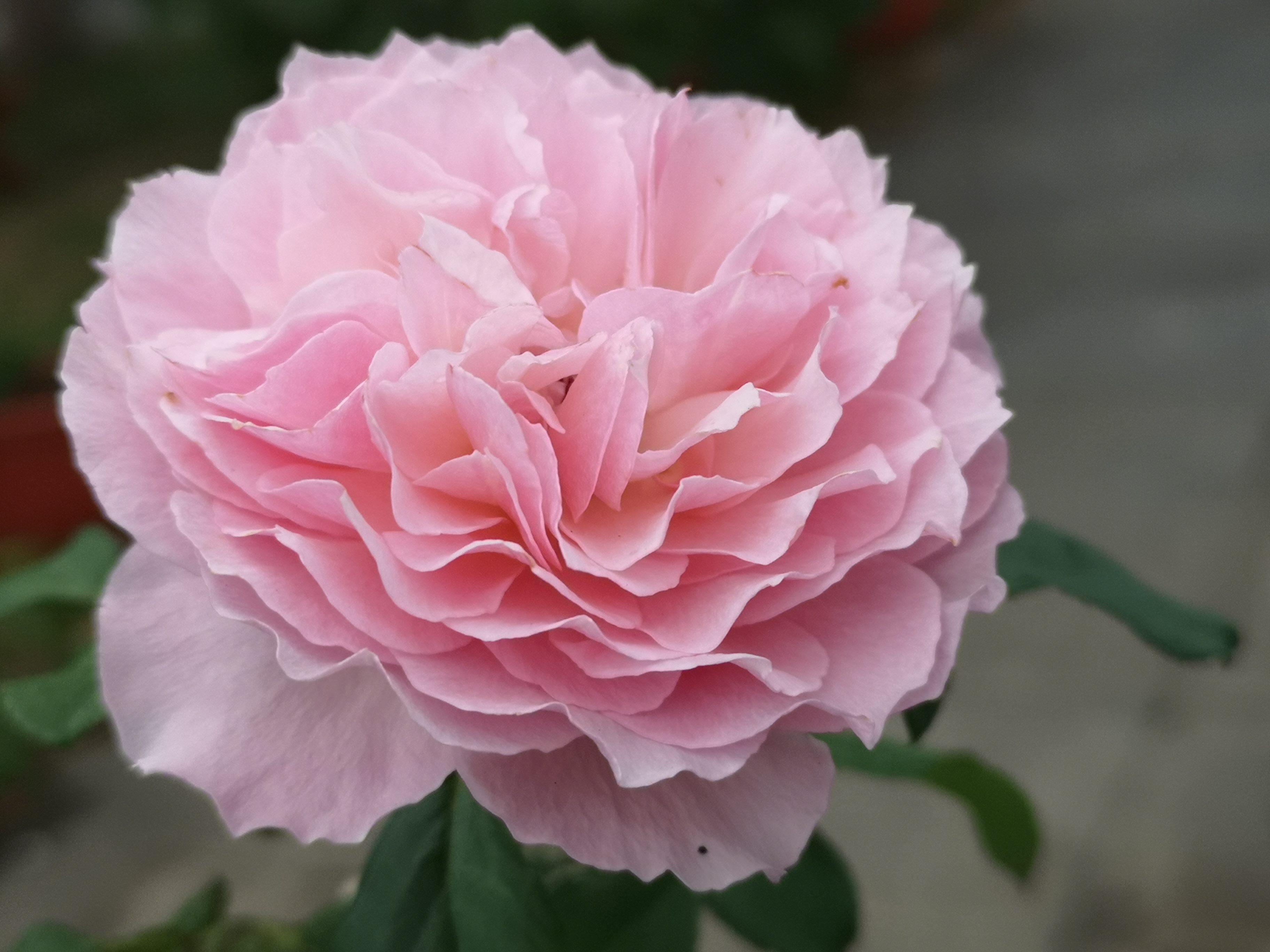 風情萬種的玫瑰等您來鑑賞