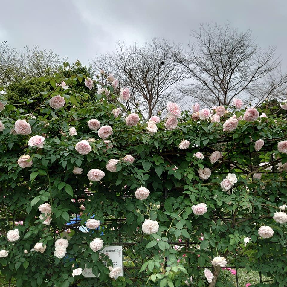 圖9玫瑰綻放的如夢似幻,背後蘊含玫瑰守護者滿滿的愛。