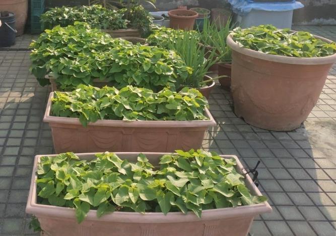 圖2綠屋頂菜園使用土壤改良劑,種植的地瓜葉也生長茂盛