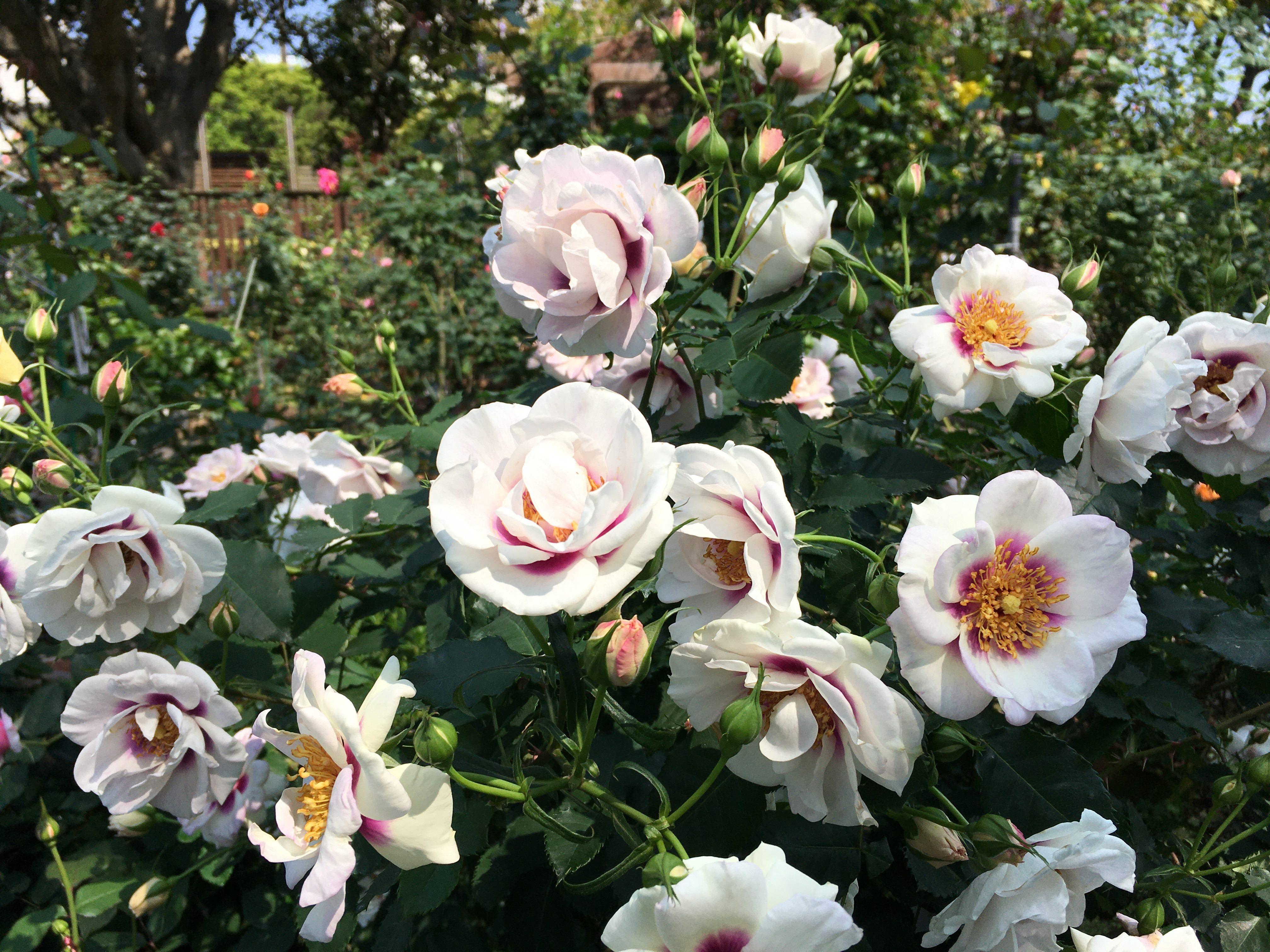 圖6「萬眾矚目」這款帶有強香特殊玫瑰,擁有獨一無二紫色斑塊的花心。
