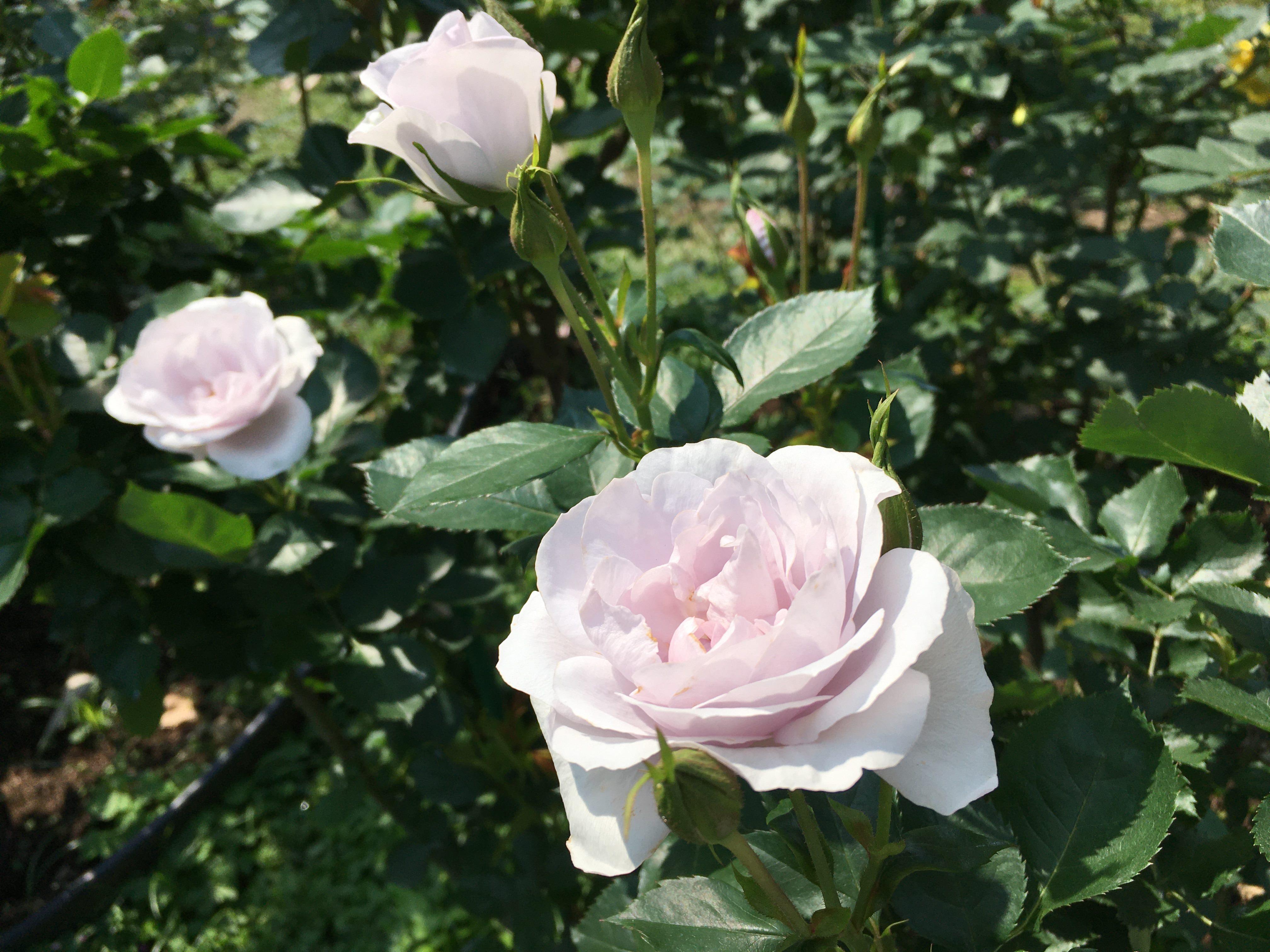 圖8清香帶有淺紫色稀有種「薰衣草絨球」,具有非常強的抗病性和耐熱性,適合在陽台及盆栽種植。
