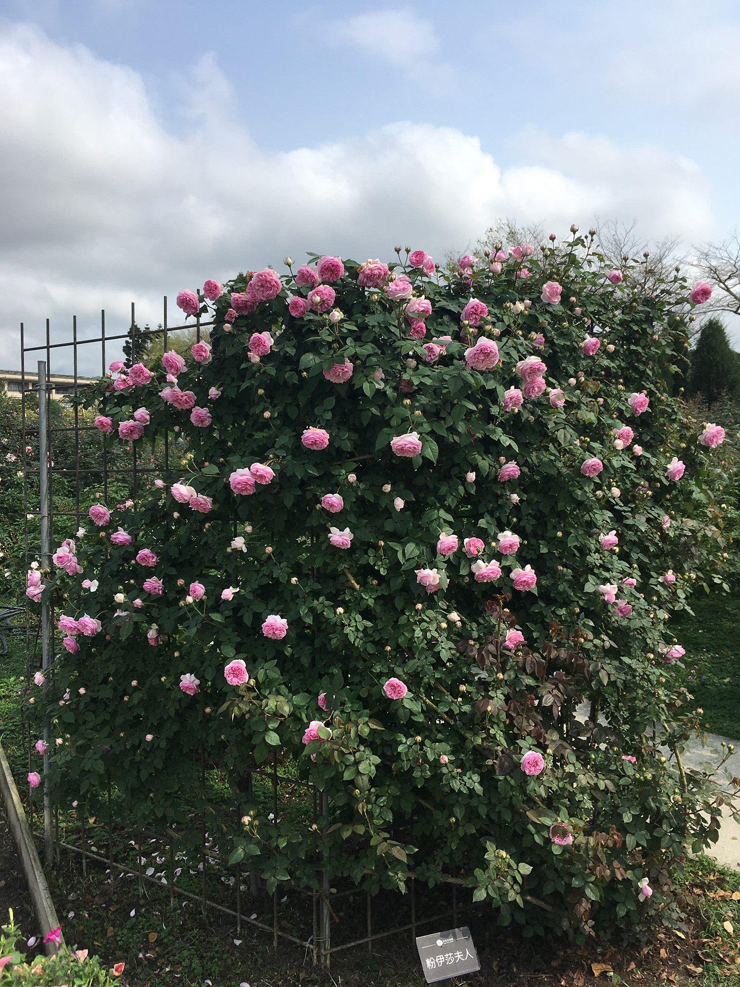 圖1一季蔓玫「粉伊莎夫人」粉紅的花瓣與含苞待放的花朵在綠葉襯托下格外的嬌嫩。
