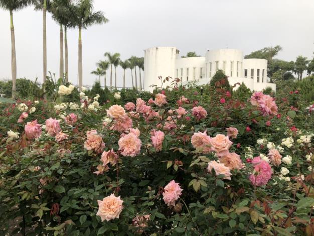 圖2玫瑰花海區比人高的玫瑰花叢,是許多遊客必拍打卡景點