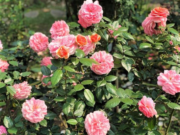 圖3. 臺北玫瑰園中種植超過700種世界名品,讓人目不轉睛。