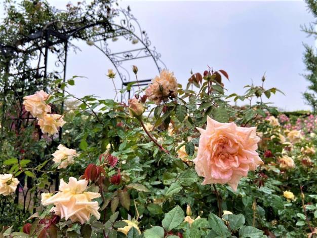 圖2. 臺北玫瑰園花況佳,花期可望至5月初。