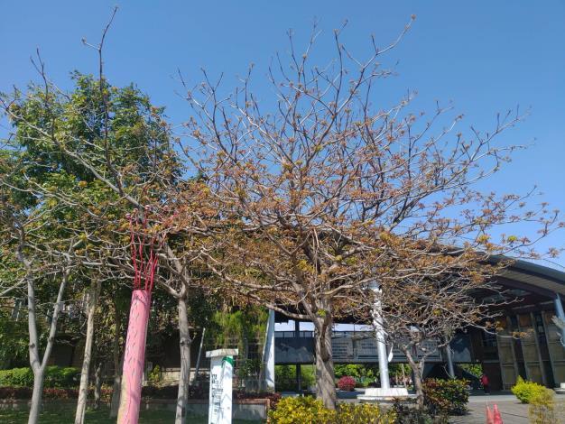 圖3夢想館前面就有一株盛開的掌葉蘋婆樹。