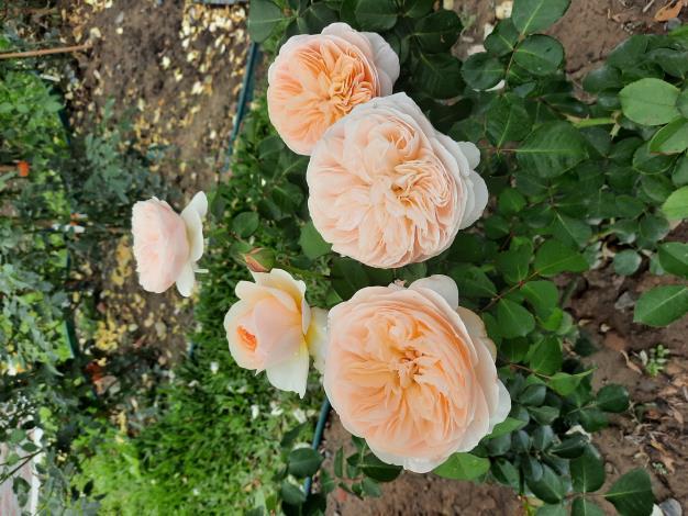 圖2英國玫瑰Juliet茱麗葉來自英國大衛奧斯汀育出,世界上第一棵切花英國玫瑰品種,目前