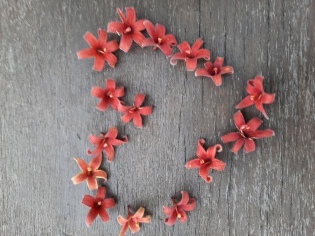 圖6毛茸茸的花被片呈朱紅色,心皮五枚,有絨毛;花柱彎曲;開花時有特殊的香味。