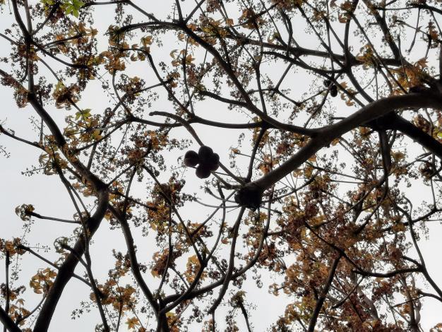圖9 等到初秋時節,枝椏上就會結滿美麗的火紅蓇葖果。