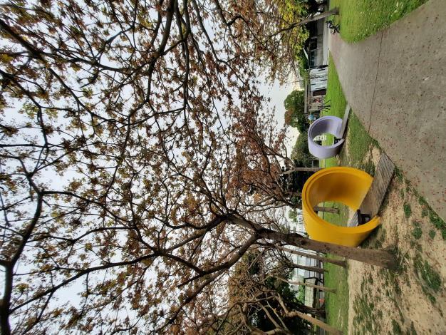圖4樹掌葉蘋婆因為枝條平展、枝葉茂盛、花量大、傘型樹狀形成廣大遮蔽,以往常被種植