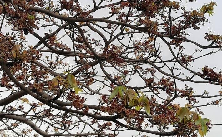 圖5掌葉蘋婆命名來自於其複葉,常以5至10枚之數聚生,如手掌形狀,又稱裂葉蘋婆。