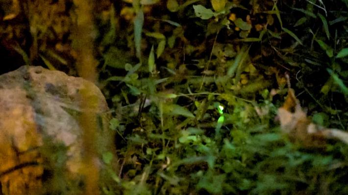 大安森林公園螢火蟲