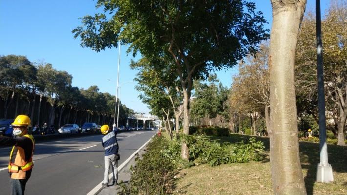 (圖1) 計畫性修剪樹木