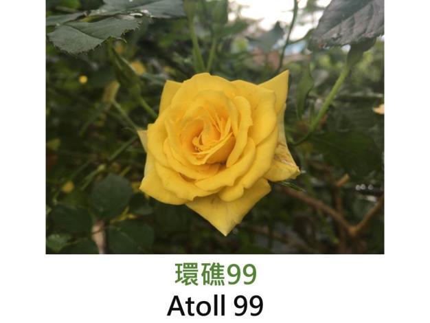 CL.育出:1999法國.黃色.半重瓣.高心平開.中香
