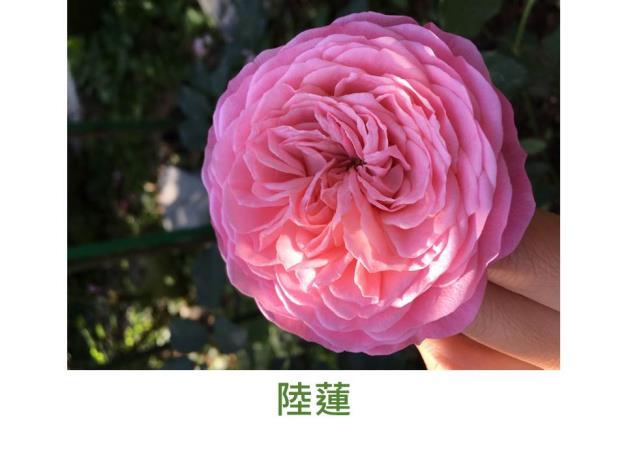粉色,外瓣漸轉紅,初開古典球狀花形,盛開時盤狀