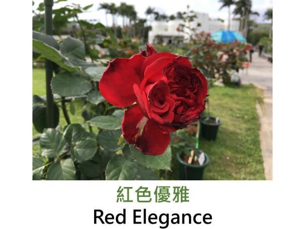 育出:2014日本,深紅色,瓣緣有時紅黑色,杯狀,半劍瓣,微香