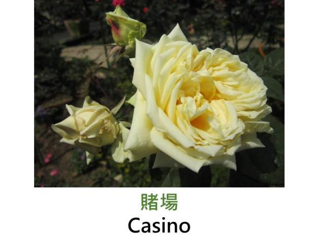 攀緣玫瑰,育出:1963北愛爾蘭,柔黃色,平展的四分簇生形,微香