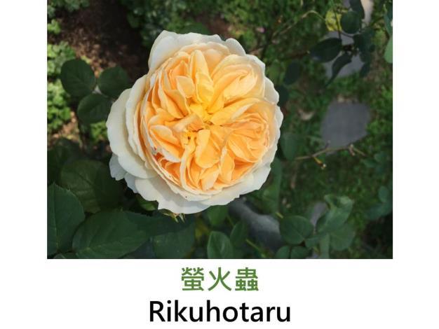 中輪灌木玫瑰,育出:2013日本,螢光黃色,重瓣杯形,濃香,香織裝飾突變成黃色之品種
