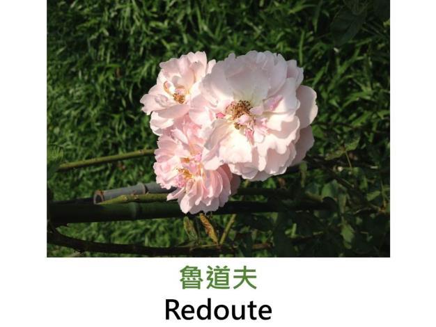 現代英國灌木玫瑰,育出:1992英國,淺粉,完全重瓣古典簇生,碗狀平開,淡香