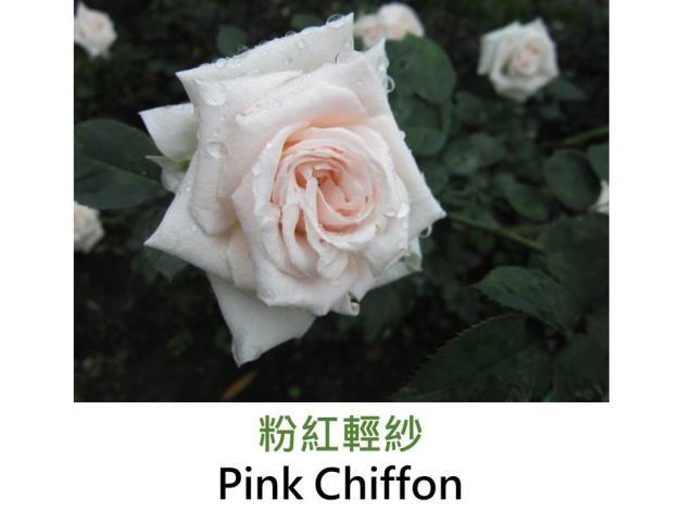 現代豐花矮叢玫瑰,育出:1956美國,粉色,圓瓣高心形,中香