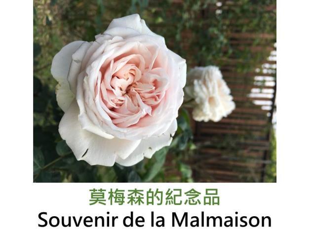 古典波旁玫瑰,育出:1843法國,粉白色,重瓣彩球形,強香