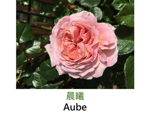 灌木玫瑰,育出:日本,杏粉色,簇生花形,強香