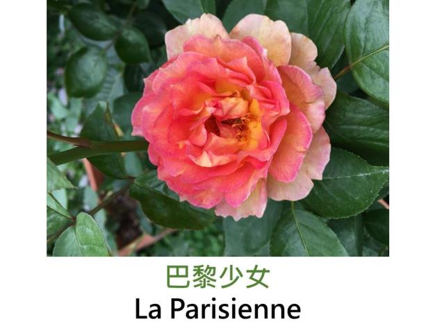 中輪灌木玫瑰,育出:2009法國,黃色,邊緣粉橘色,波浪瓣,中香