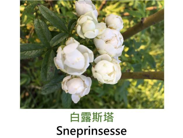 迷你多花玫瑰,育出:1946荷蘭,白色,圓型花形,微香
