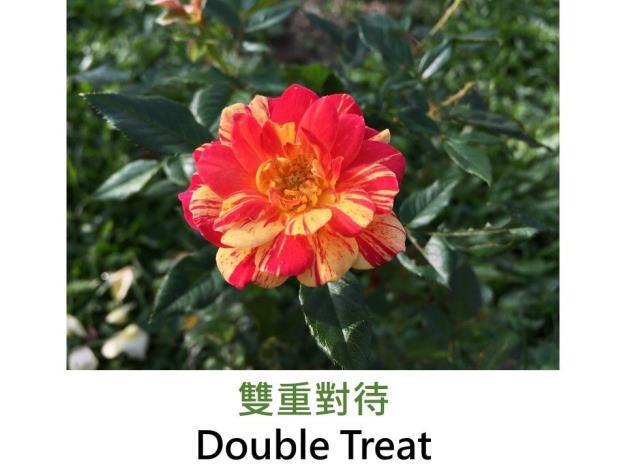 迷你玫瑰,育出:1986美國,黃紅絞紋,淡香